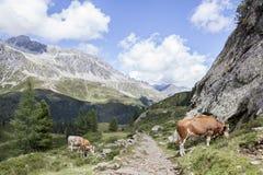 Mucche che pascono vicino all'itinerario trekking in alpi. Immagine Stock