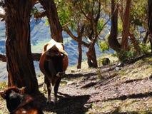 Mucche che prendono ombra sotto un albero immagini stock