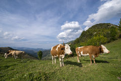 Mucche che prendono una rottura su un prato Fotografie Stock