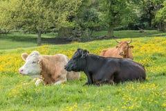 Mucche che riposano nei ranuncoli sul pascolo comune Immagini Stock