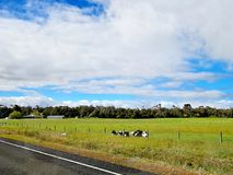 Mucche che riposano in un'azienda agricola accanto alla strada Fotografia Stock