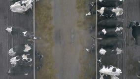 Mucche che si alimentano in una stalla, vista superiore stock footage