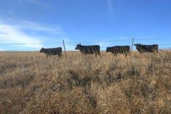 Mucche che si dirigono verso alimento in una linea del singolo archivio Fotografia Stock Libera da Diritti
