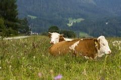 Mucche che si distendono nel campo, Germania Fotografia Stock