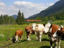 Mucche che si levano in piedi intorno Immagine Stock