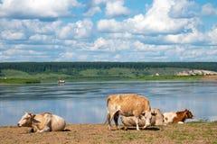 Mucche che si rilassano, addormentate e pascenti su un prato accanto ad un fiume fotografie stock