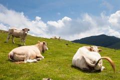 Mucche che si trovano al sole Fotografia Stock