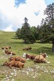 Mucche che si trovano sul pascolo delle montagne Immagini Stock Libere da Diritti