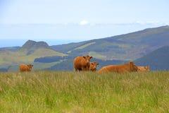 Mucche che stanno davanti alle colline vulcanic fotografia stock libera da diritti