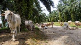 Mucche che vanno in giro sulla strada della giungla fotografia stock libera da diritti