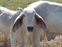 Mucche che vivono nei campi immagine stock