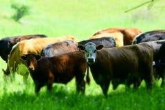 Mucche chi, noi? fotografia stock