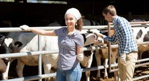 Mucche commoventi della donna e dell'uomo Immagine Stock Libera da Diritti