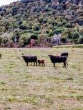 Mucche con i vitelli Fotografia Stock Libera da Diritti