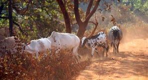 Mucche con i vitelli alla strada polverosa Fotografie Stock