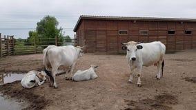 Mucche con i vitelli nella recinzione video d archivio