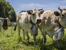 Mucche con il bellflower che pasce Immagine Stock