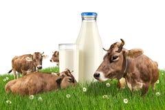 Mucche con la bottiglia per il latte sul prato Immagini Stock