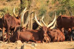 Mucche cornute lunghe nell'Uganda immagini stock libere da diritti