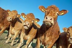 Mucche curiose Immagini Stock Libere da Diritti
