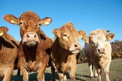 Mucche curiose Immagine Stock
