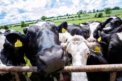 Mucche curiose che ottengono vicino alla macchina fotografica su un'azienda agricola BRITANNICA Immagini Stock