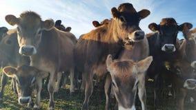 Mucche curiose degli animali di un anno su un'azienda agricola in Nuova Zelanda Fotografia Stock