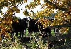 Mucche curiose sotto un albero Fotografia Stock