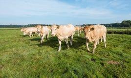 Mucche curiose in una fila Fotografia Stock Libera da Diritti