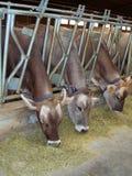 Mucche d'alimentazione Fotografie Stock Libere da Diritti