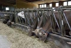 Mucche d'alimentazione Fotografia Stock