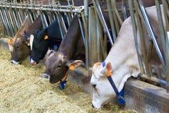 Mucche d'alimentazione Immagini Stock