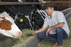 Mucche d'alimentazione del coltivatore fotografia stock libera da diritti