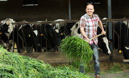 Mucche d'alimentazione dell'agricoltore con erba in azienda agricola Immagini Stock