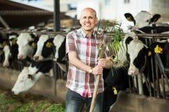 Mucche d'alimentazione dell'agricoltore con erba in azienda agricola Fotografia Stock Libera da Diritti