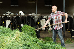 Mucche d'alimentazione dell'agricoltore con erba in azienda agricola Fotografie Stock Libere da Diritti