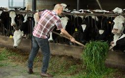 Mucche d'alimentazione dell'agricoltore con erba in azienda agricola Immagine Stock