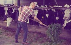 Mucche d'alimentazione dell'agricoltore con erba in azienda agricola Fotografia Stock