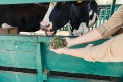 Mucche d'alimentazione dell'agricoltore nella stalla Immagini Stock Libere da Diritti