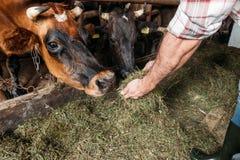 Mucche d'alimentazione dell'agricoltore nella stalla Fotografie Stock Libere da Diritti