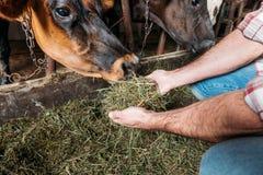 Mucche d'alimentazione dell'agricoltore nella stalla Fotografia Stock Libera da Diritti