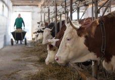 Mucche d'alimentazione dell'agricoltore in stalla immagine stock libera da diritti