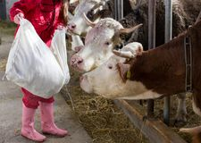 Mucche d'alimentazione della donna dell'agricoltore in stalla Fotografie Stock Libere da Diritti