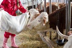 Mucche d'alimentazione della donna dell'agricoltore in stalla Fotografia Stock Libera da Diritti