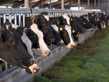 Mucche d'alimentazione in scuderia Immagini Stock