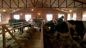 Mucche d'alimentazione in stalla video d archivio