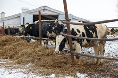 Mucche d'alimentazione sull'azienda agricola nell'inverno Fotografia Stock
