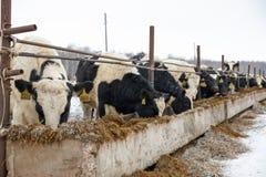 Mucche d'alimentazione sull'azienda agricola nell'inverno Immagine Stock