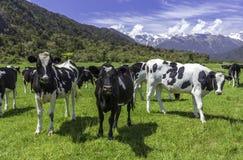 Mucche da latte Fotografie Stock Libere da Diritti