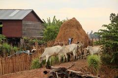 Mucche da latte immagini stock libere da diritti
